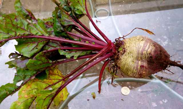 huge beetroot 2