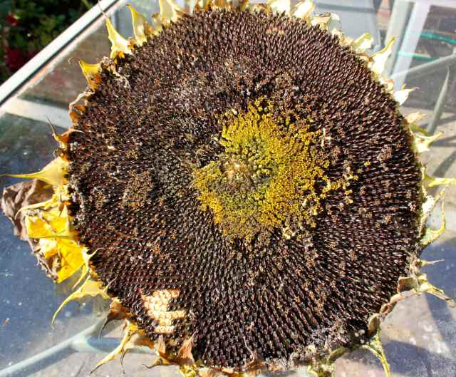 huge sunflower face on