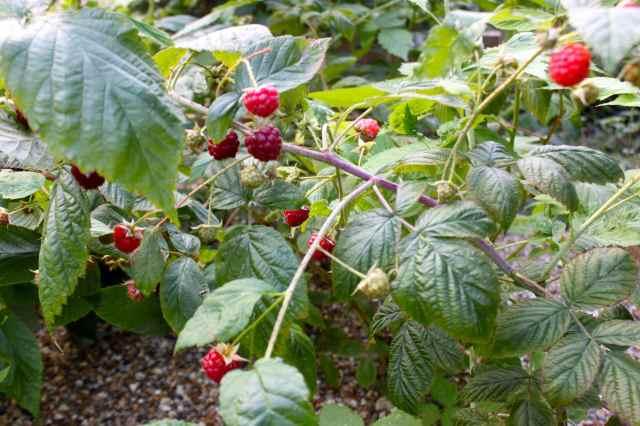 raspberries 14-9 1