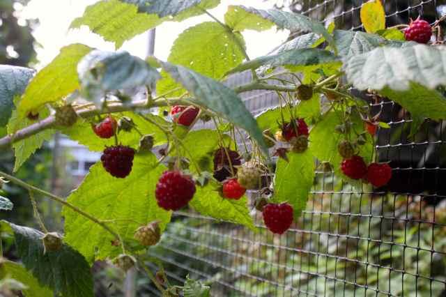 raspberries 14-9 2