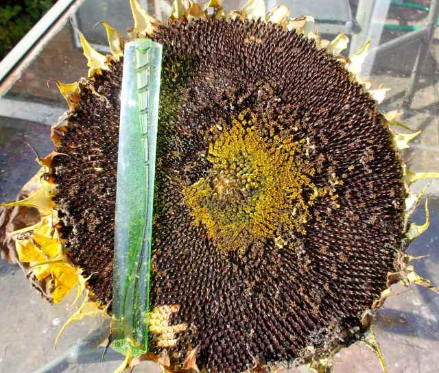 sunflower with ruler