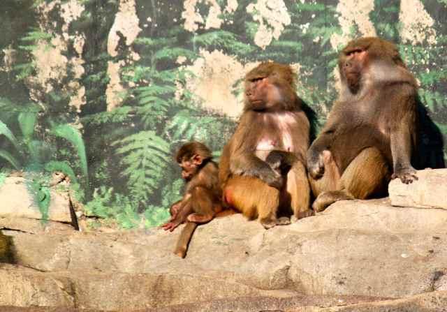 3 baboons