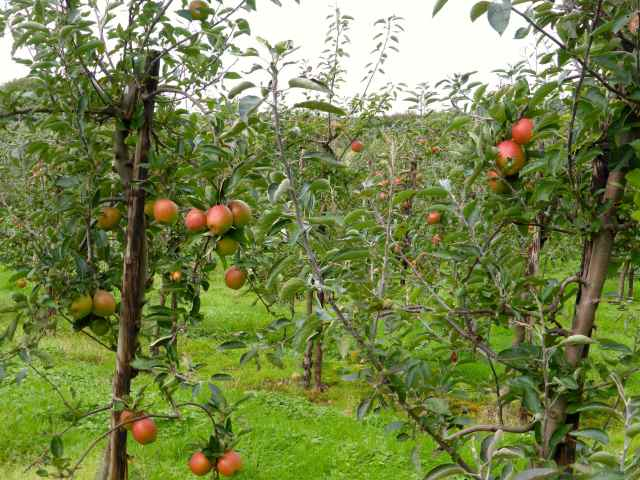 apples in Sissinghurst orchard