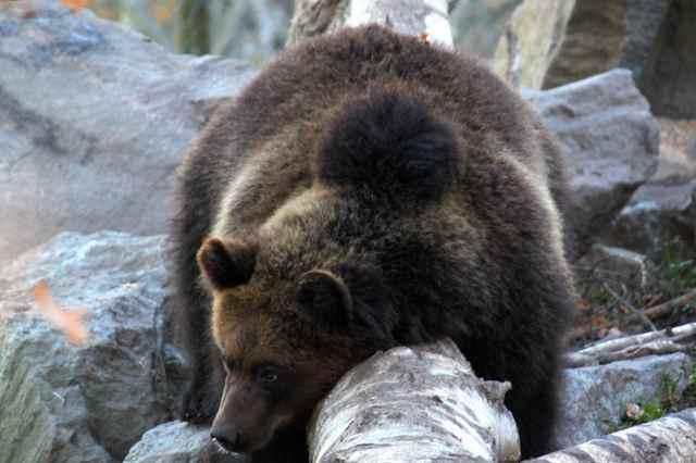 bear straddling log