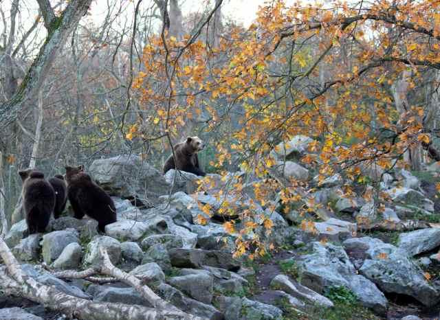 bears get up