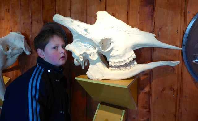 H and giraffe skull