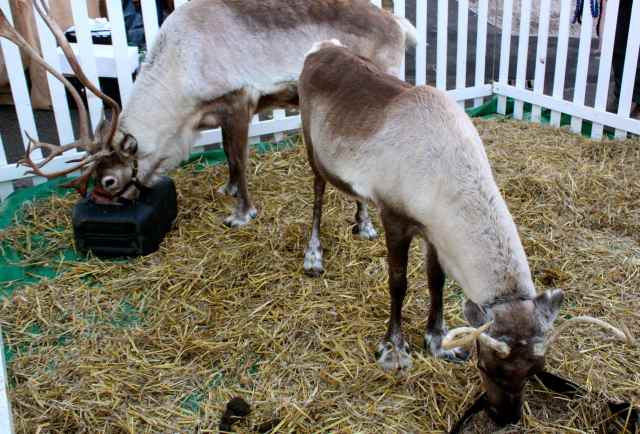 reindeers 1