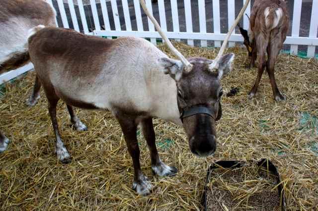 reindeers 2