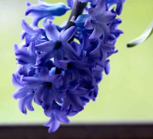 blue hyacinth 3-4-15