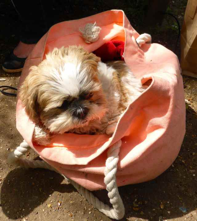 Coco in beach bag
