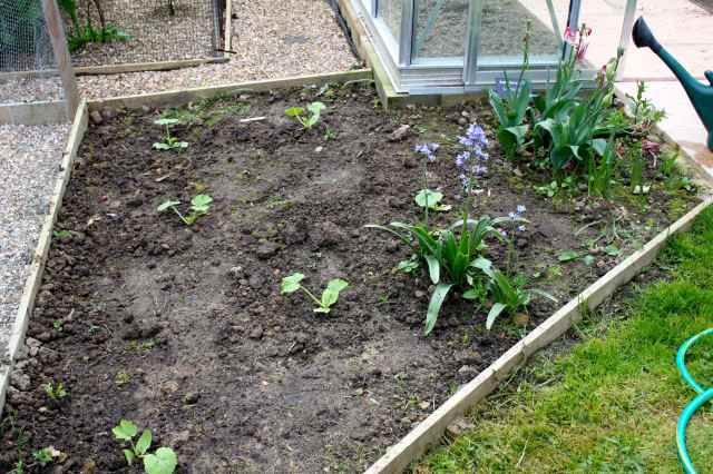 Courgette bed 2015