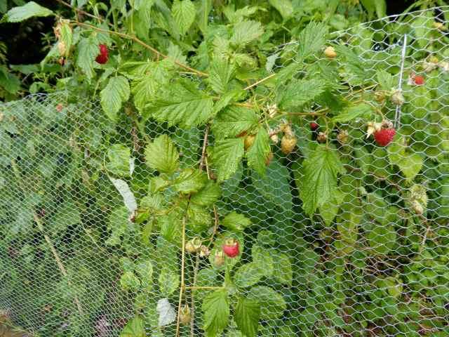 raspberries 27-6