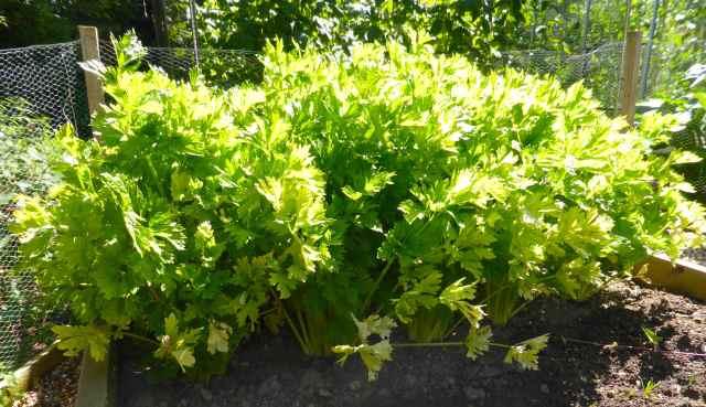 celery in veggie patch