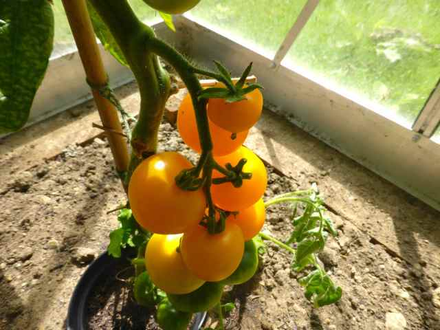 yellow toms