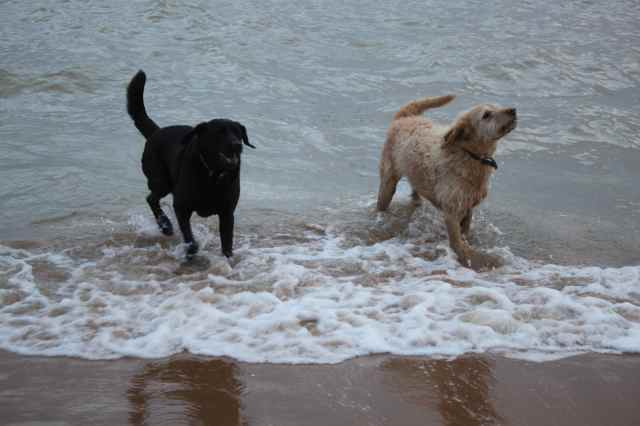 dogs in the sea