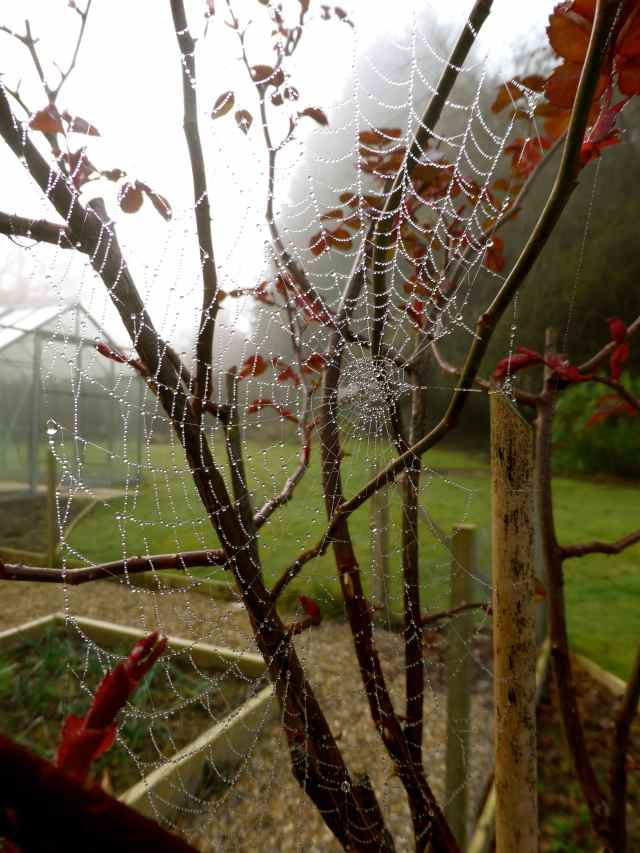 cobweb on rose buch