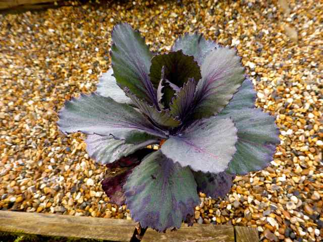 red cabbage in garden 11-3